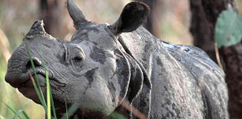 Rhinoceros unicornis  Indian rhinoceros / ©: Michel GUNTHER/WWF