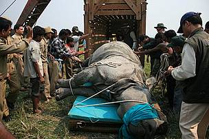 Putting rhino in crate / ©: Sujoy Banerjee/WWF-India