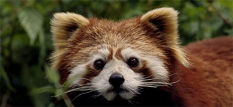 The red panda is rare. It is found in the Eastern Himalaya and in parts of China and Myanmar. It's ... / &copy;: Susan A. MAINKA/WWF-Canon