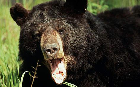 Bears | WWF India