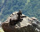 A saddle back male Nilgiri Tahr at rest in Chembarali mottai of the Srivilliputhur wildlife sanctuary