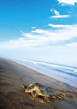 Olive Ridley Turtle Wwf India