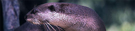 Lutra perspicillata Smooth-coated otter  rel=