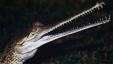 Gharial crocodile. Gavialis gangeticus. India. rel=