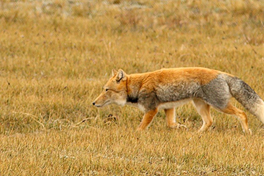 http://awsassets.wwfindia.org/img/kcl_tibetan_fox_dipankar_ghose_31354.jpg