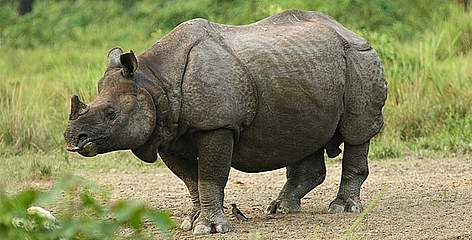 Safe answer Food asian one horned rhino consider