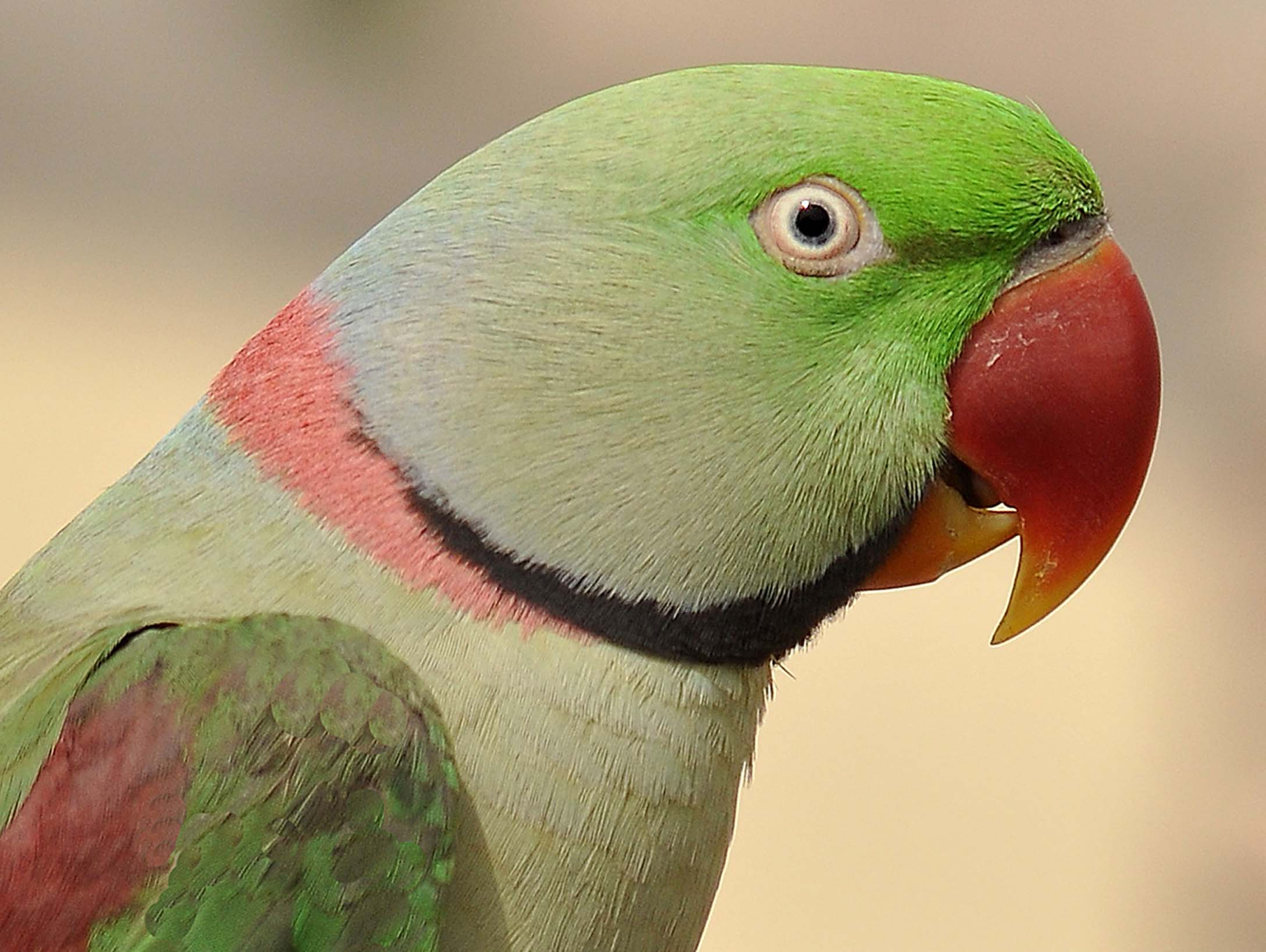 indian parrot bird information Keeping indian ringneck parakeets as pets indian ringneck parrot five interesting facts about indian ringneck parakeets small bird.