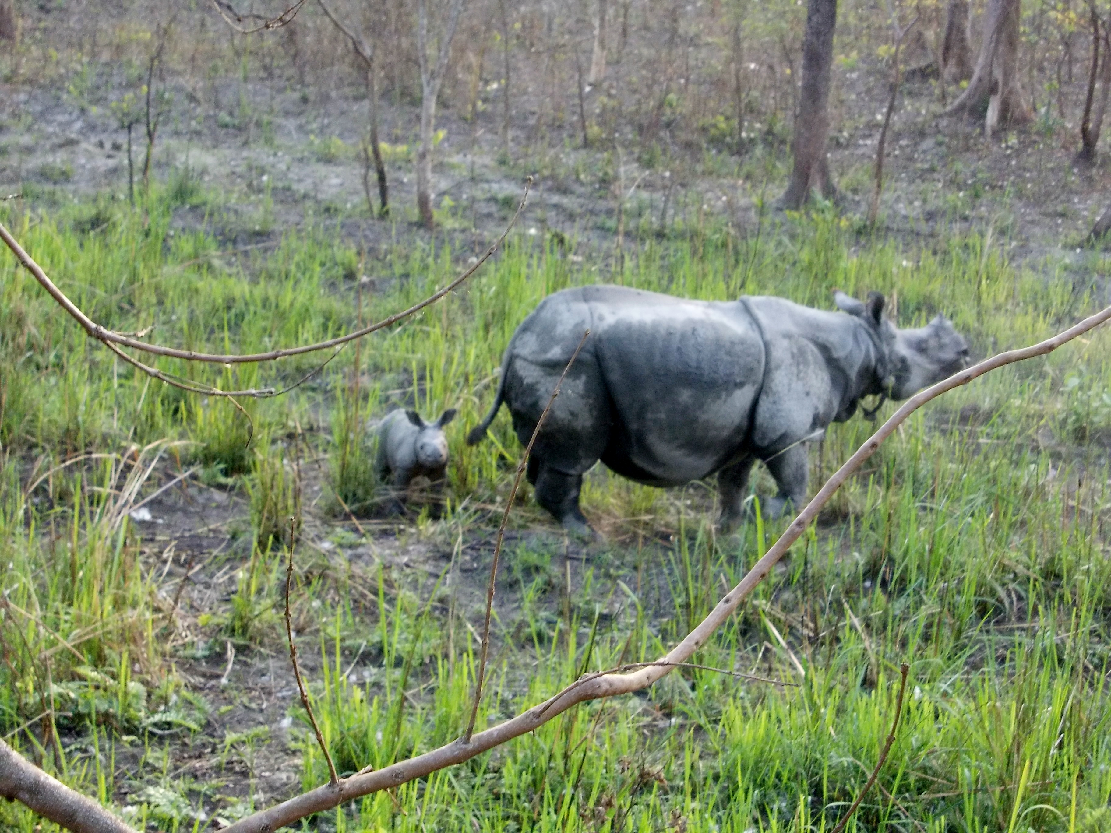 Rhino 17 with her new born calf in Manas National Park, Assam, India © Jamir Ali /WWF-India
