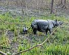 Rhino 17 with her new born calf in Manas National Park, Assam, India