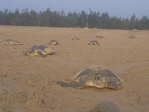"Olive ridley turtles coming for ""arribada"" (technical term for the mass nesting of olive ridleys, when several thousand females come to the beach in a single evening) in Rushikulya, Orissa"