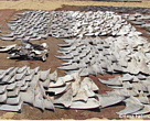 Shark fins drying outside a processing unit in southern India