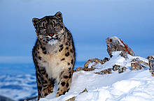Snow Leopards are threatened by illegal killing, chiefly for pelts.