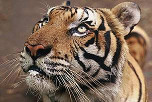 Click on the image to support tiger in the wild.  © Adam OSWELL/WWF