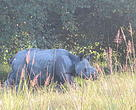 The rhino calf in the Burachapori WLS during the month of September