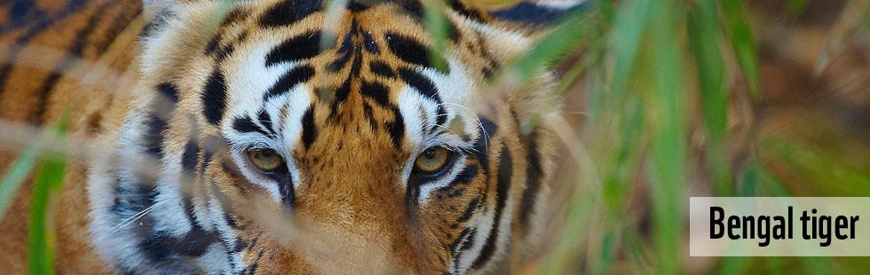 Bengal Tiger Wwf India