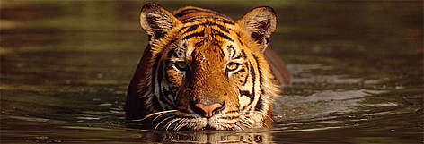 Frequently Asked Questions - Tiger | WWF India on monkey habitat in the wild, dolphin habitat in the wild, snake habitat in the wild, panda habitat in the wild, rabbit habitat in the wild,