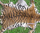 Poaching of tiger for its body parts gravely threaten its future