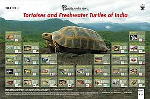 Tortoises and Freshwater Turtles of India Poster. Click on the image to download a copy of the ... / ©: TRAFFIC India
