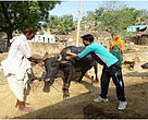 Cattle vaccination taking place in Bhuri Pahari