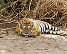 India's tigers gain numbers but not ground