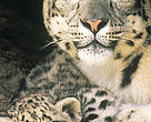 Snow leopard with cub