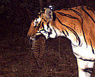 This camera trapping exercise in Kosi River corridor has shown tigers thriving. Seen here is a tigress carrying a 1-month old cub (approx). in her mouth in Jan 2012.